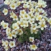 Saxifraga 'Sofia' (x borisii) (29/03/2016)  added by Shoot)