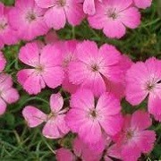 Dianthus alpinus (29/03/2016)  added by Shoot)
