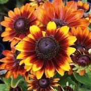 Rudbeckia hirta 'Toto Rustic' (Toto Series) (29/03/2016)  added by Shoot)