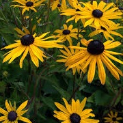 Rudbeckia fulgida var. sullivantii 'Pot of Gold'