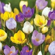 Crocus Spring Sparkle Mix