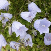 (03/07/2018) Campanula cochlearifolia 'Blue Baby' (Baby Series) added by Shoot)