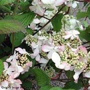 Viburnum plicatum f. tomentosum 'Kilimanjaro Sunrise' (07/03/2016)  added by Shoot)