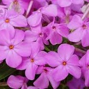 Phlox glaberrima 'Forever Pink' (27/01/2016)  added by Shoot)