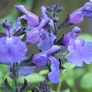 Salvia 'Lavender Dilly Dilly'