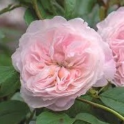 Rosa 'The Albrighton Rambler'