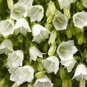 Campanula cochlearifolia 'Swinging Bells White' (26/01/2016)  added by Shoot)