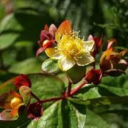 Hypericum 'Magical Red Fame'