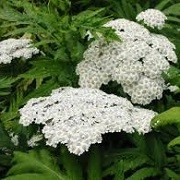 Achillea grandifolia (26/01/2016)  added by Shoot)