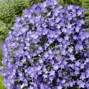 Campanula 'Spring Bell Blue' (25/01/2016)  added by Shoot)