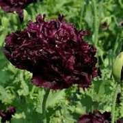 Papaver somniferum 'Double Black'