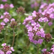 Thymus citriodorus 'Prostrate'
