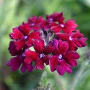 Verbena 'Claret' (14/01/2016)  added by Shoot)