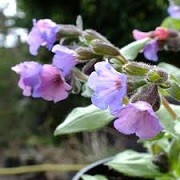 Pulmonaria 'Blake's Silver' (13/01/2016)  added by Shoot)