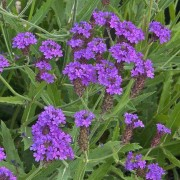 (10/07/2018) Verbena rigida 'Santos' added by Shoot)