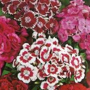 Dianthus Monarch Mix