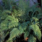 Polystichum setiferum (Divisilobum Group) 'Divisilobum Iveryanum'