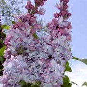 'Katherine Havemeyer' is a deciduous shrub with panicles of fragrant, double, purple-pink flowers in spring and summer. Syringa vulgaris 'Katherine Havemeyer' added by Shoot)