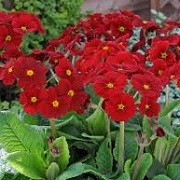 Primula 'Stella Regal Red' (Stella Series) (13/01/2016)  added by Shoot)