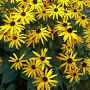 Rudbeckia fulgida 'City Garden' (13/01/2016)  added by Shoot)