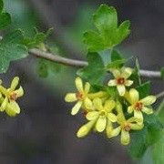 ribes aureum (13/01/2016)  added by Shoot)