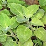 Plectranthus amboinicus (11/01/2016)  added by Shoot)