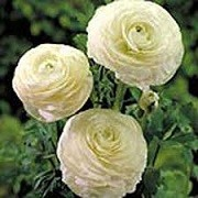 Ranunculus asiaticus 'Aviv White' (11/01/2016)  added by Shoot)