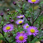 Aster trifoliatus subsp. ageratoides 'Ezo Murasaki' (04/12/2018) Aster trifoliatus subsp. ageratoides 'Ezo Murasaki' added by Shoot)