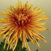 Chrysanthemum 'Spider Bronze'