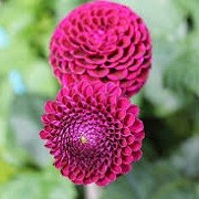 Dahlia 'Willo's Violet' (06/01/2016)  added by Shoot)