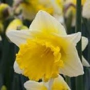 Narcissus 'Cornish King' (05/01/2016)  added by Shoot)