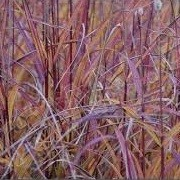 Miscanthus sinensis 'Purple Fall' (05/01/2016)  added by Shoot)