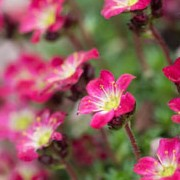 Saxifrage Peter Pan Added by Mark Somers