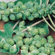 Brassica oleracea (Gemmifera Group) 'Nautic'