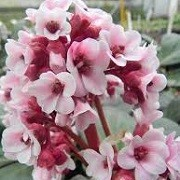 Bergenia 'Bach' (07/03/2016)  added by Shoot)