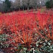 Cornus sanguinea 'Anny's Winter Orange' (07/03/2016)  added by Shoot)