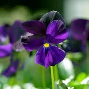 Viola 'Roscastle Black' (01/03/2016)  added by Shoot)