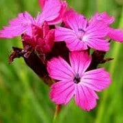Dianthus sanguineus (01/03/2016)  added by Shoot)