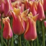 Tulipa 'Marianne' (01/03/2016)  added by Shoot)