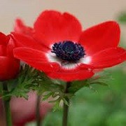 Anemone coronaria 'Harmony Scarlet' (Harmony Series) (23/03/2016)  added by Shoot)
