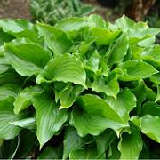 Hosta 'Invincible'