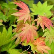 Acer shirasawanum 'Moonrise'