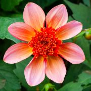 Dahlia 'Totally Tangerine' (13/08/2017) Dahlia 'Totally Tangerine' added by Shoot)