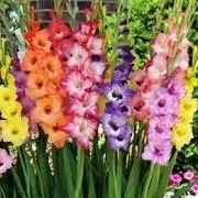 Gladiolus Pastel Mix (20/05/2016) Gladiolus Pastel Mix added by Shoot)