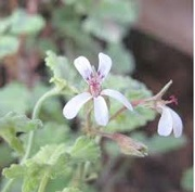Pelargonium (Fragrans Group) 'Fragrans Variegatum'