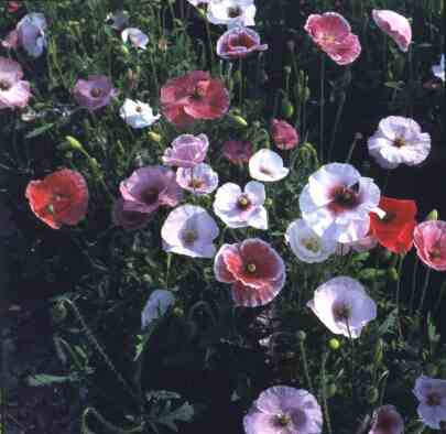 Papaver rhoeas Fairy Wings Mix