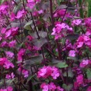 (09/05/2016) Lunaria annua 'Chedglow' added by Shoot)