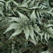 (10/05/2016) Athyrium niponicum 'Godzilla' added by Shoot)