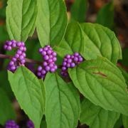 (10/05/2016) Callicarpa dichotoma 'Issai' added by Shoot)