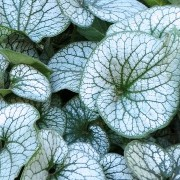 (10/05/2016) Brunnera macrophylla 'Alexander's Great' added by Shoot)